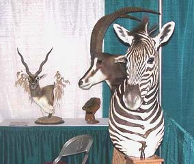 African safari taxidermy done at Gossett's Taxidermy.