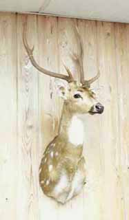 Axis deer taxidermy by Louisiana taxidermist Paul Eymard.