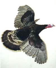 Wild Turkey Taxidermy by Texas taxidermist Steve Winn