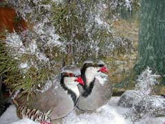 Chukar partridge taxidermy by NJ taxidermist Richard G. Santomauro
