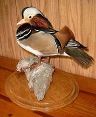 Mandarin Drake Taxidermy by West Virginia taxidermy studio hennings Wildlife Art