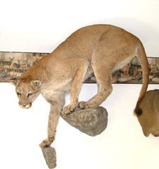 Mountain lion taxidermy by Ct. taxidermist Johnny Humphries.