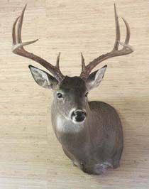 Texas_whitetail
