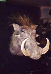 WART HOG TAXIDERMY by Kentucky taxidermist John Griffith