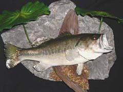 Largemouth bass taxidermy by NC taxidermist Eddie Johnson