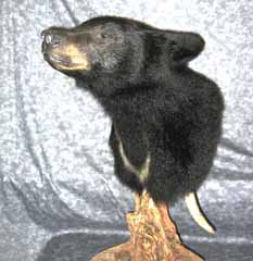 Black bear taxidermy by Ct. taxidermist Steve Hackett