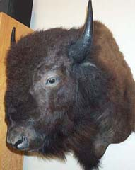 bison taxidermy by Texas taxidermist Wayne Smith