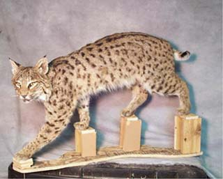 Mounting A Bobcat Or Lynx Hide Tanning And Taxidermy