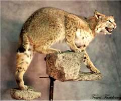 Bobcat taxidermy by bobcat specialist Kansas taxidermist Lonny Travis