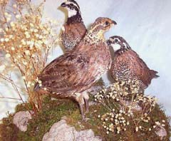Bobwhite quail taxidermy by Texas taxidermist Dennis Lingnau