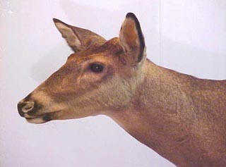button buck taxidermy