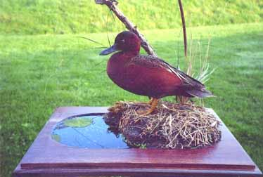 Cinnamon teal taxidermy by Logan, Ohio taxidermist Dane Bisel