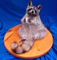 Coon taxidermy bt Texas taxidermist Becky Phillips