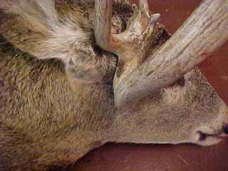 deformed_antler
