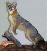 GREY FOX TAXIDERMY by New Jersey Taxidermist Sandy Sylvester
