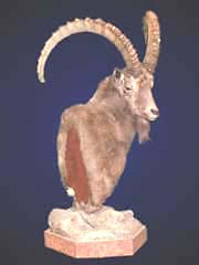 Ibex taxidermy done at Taxidermy by Monte Sink.