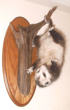 'Possum taxidermy by Pennsylvania taxidermist Frank Kotula