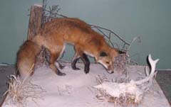 red fox taxidermy by Indiana taxidermist Todd Buchanan