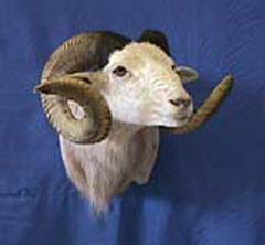 sheep taxidermy by Texas taxidermist Kevin Chovanetz