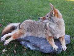 Coyote mount on rock slab by Terry Davis.