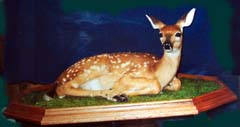 whitetail deer fawn by Kentucky taxidermist Velma Smith
