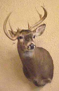 whitetail_mount