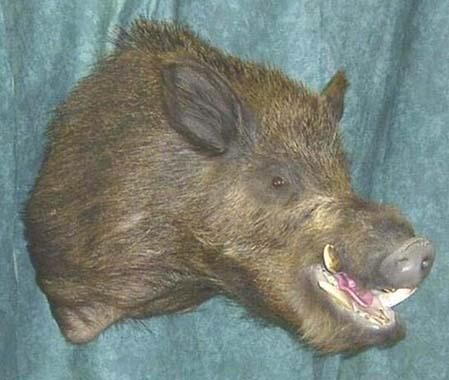 Boar taxidermy by Australian taxidermist Samantha Cervinski